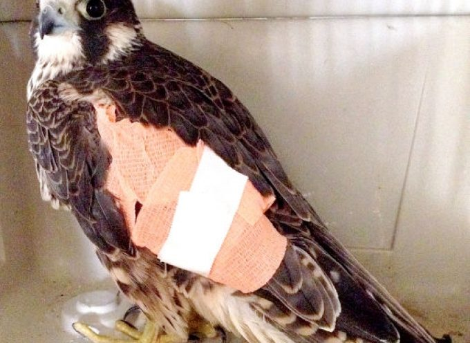 Saker with minor, but painful, injury