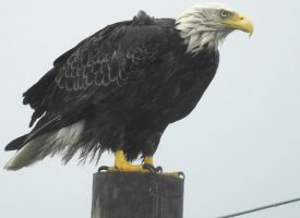 Eagle in the storm