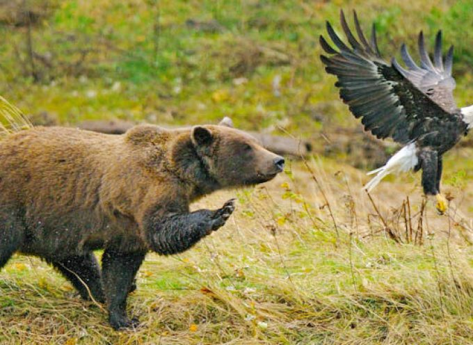 When dealing with a bear, hubris is suicidal