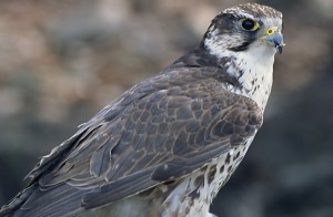 The European Saker falcon